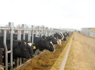 Vinamilk nhập thêm hơn 2.000 con bò sữa từ Mỹ